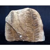 Vegetal fosil. Neuropteris s.p.